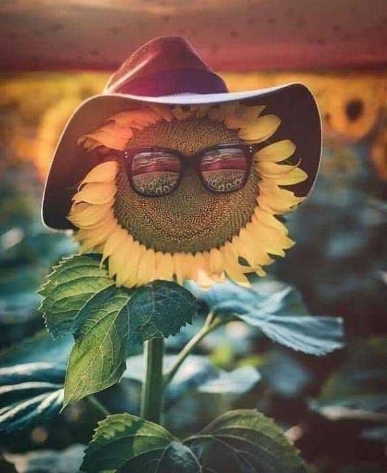 Barry the sunflower